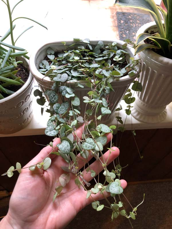 String of Hearts Propagation